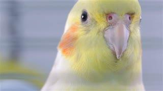 Cockatiel Bird Head Close Up Beaking