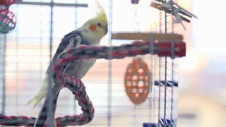 Cockatiel Bird Shaking Of Feather In Cage