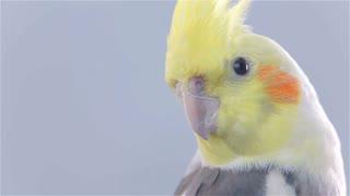 Cockatiel Bird Turning Head Around