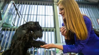 Cute black puppy shake hand with woman. Female hand holding cute paw of a black miniature Schnauzer dog at exhibition.