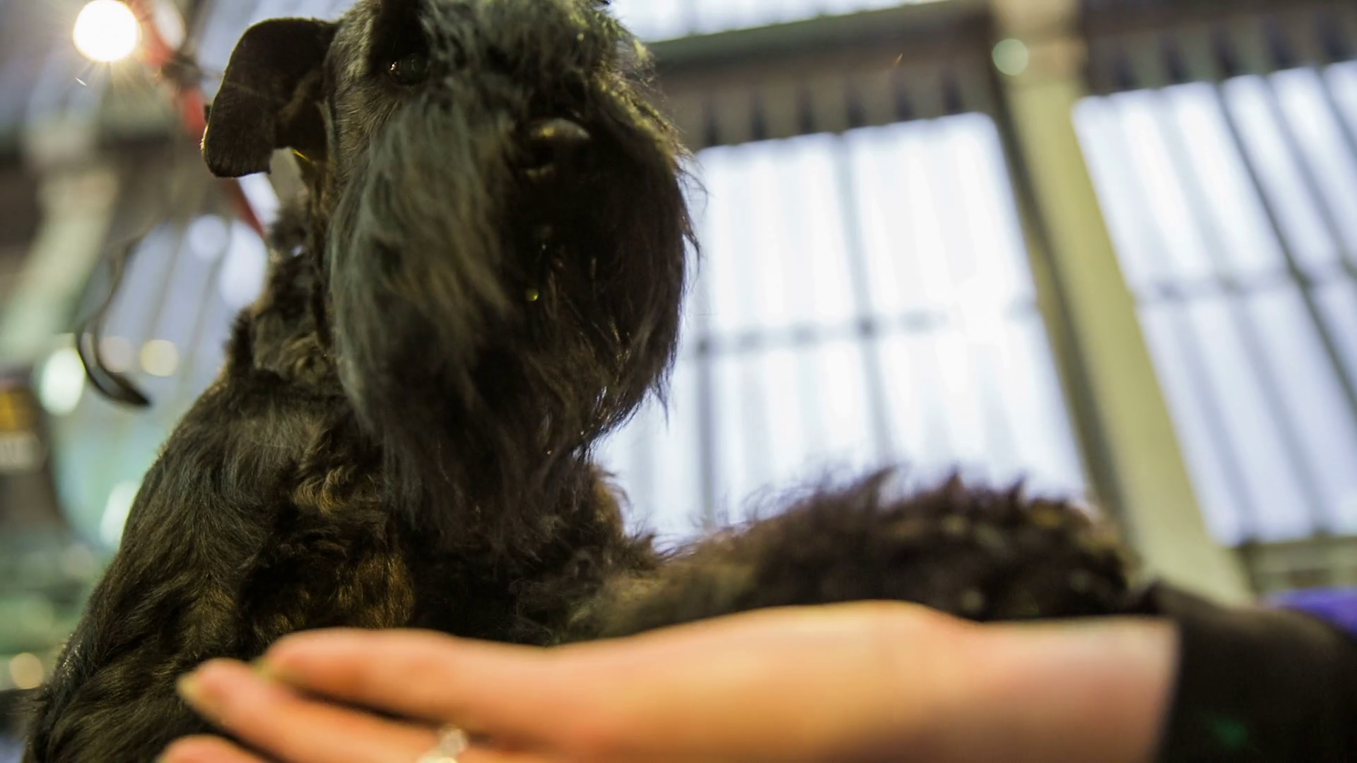 Cute Schnauzer Dog Shake Paw Close Up Female Hand Holding Cute Paw Of A Black Miniature Schnauzer Puppy At Exhibition Stock Video Footage Storyblocks