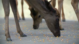 Deer close up eating corn