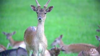 Deer standing before herd in grass slow motion