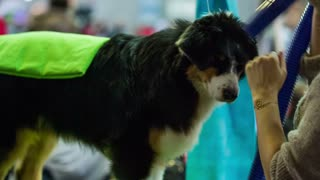 Hair drying friendly dog fur. Close up shot of person drying Australian-shepherd purebred with hairdryer for exhibition.