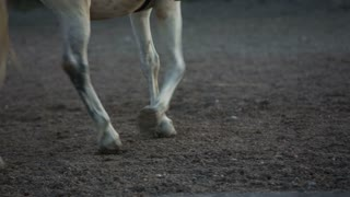 Horse hooves circling around a person. Close up on gravel ground with walking white horse with trainer in the middle.
