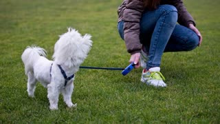 Hyper white dog jumping on leash. Close up on cute little Maltese breed on leash with owner on a walk on green field.