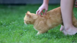 Person caressing orange cat in grass. Female playing with grown up cat outside in green lawn.