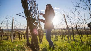 Person check vineyard branches. Shot of vineyard branches in winter and person checking their buds health before spring blossom.