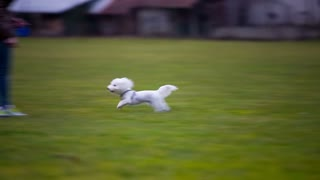 Person rewarding cute puppy on leash. Cute little white dog Maltese breed running around female owner holding it with leash on empty green field.