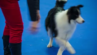 Playful Border-collie running from owner. Close up on purebred black and white cute dog on blue carpet playing with female owner.