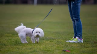 Puppy running for toy and return to owner. Cute funny Maltese dog running for toy in grass and running towards the camera while leash stops it and returns to owner.