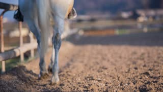 Riding horse in straight line. Medium shot of white Lipizzan horse inside the fence with woman on horseback riding outdoors on a sunny day.