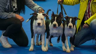 Three dogs posing for camera. Owners with Boston terrier dogs posing on blue carpet for photo camera, dogs are calm and cute.
