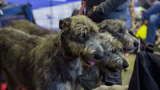 Three tall grey dogs heads. Three purebred tall Irish wolfhound dogs on leash calm looking around at exhibition.