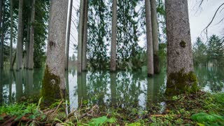Trees in water jib shot. Wide shot of forest flooded by water jib shot.