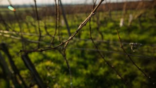 Vineyard buds in winter close up. Shot of vineyard branches in winter and person checking their buds health before spring blossom.