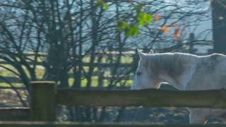 White horse walking insde the fence. Long shot tracking beautiful white horse walking inside the fence on farm.