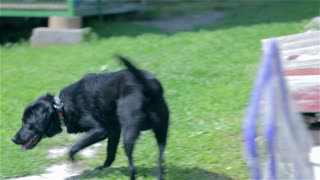 Young black dog walking around the park. Handheld long shot of black retriever dog searching around the green lawn.
