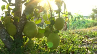 A group of jackfruit hang from their tree with sun flare .