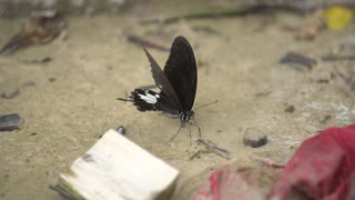 An black butterfly dries its wings before taking flight from a rock aside a stream. Shot in slow motion at a butterfly reserve