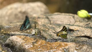 An orange butterfly dries its wings before taking flight from a rock aside a stream. Shot in slow motion at a butterfly reserve