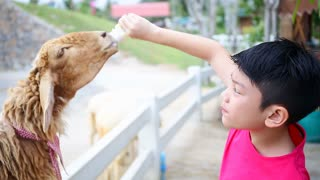 Asian boy with Sheep drinking milk from bottle.