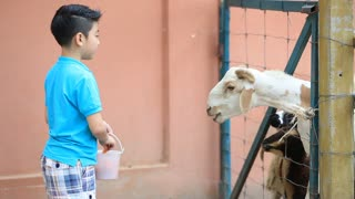 Asian kid feeding sheep in in farm