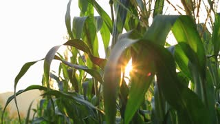 Closeup of a field of corn farm with flare .