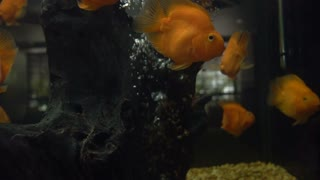 Colorful fish gold fish Love birds. Slow motion shoot