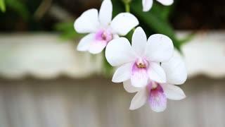 Phalaenopsis Doritaenopsis | pink striped orchid