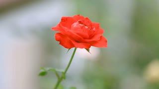 Red brier rose flower on bush