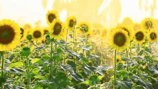 Sunflower field during sprinkling water , Pan camera
