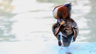 The wood duck is the most colorful North American waterfowl species of perching duck found in North America.
