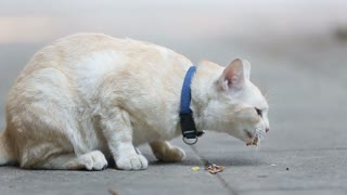 Yellow Alley Cat eating canned food on a sidewalk.