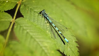 Blue dragonfly on the green leaf of the plant. Zygoptera Coenagrioniade damselfly is one of the many damselfly's found around the world.