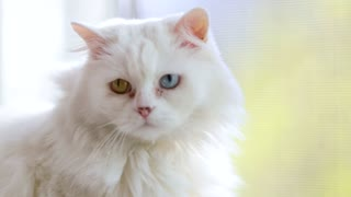 Domestic cat with complete heterochromia. White cat with different colored eyes is sitting by the window.