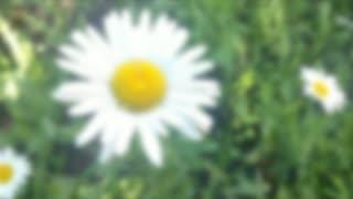 Daisy Flower Zoom