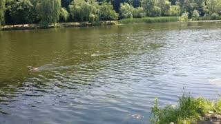Ducks Flying Over The Pond