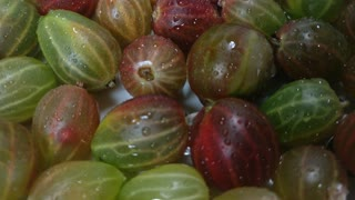 Great background of green and red ripe gooseberry with clean water drops rotating close up.