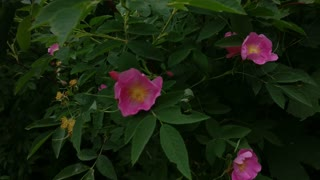 Pink Flowers In The Wind Dog Rose