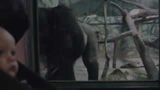 a baby boy in a stroller watching a gorilla