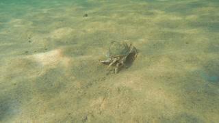 A beautiful sea crab walking along an ocean sandy floor