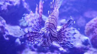 A beautiful tropical lion fish swimming in the ocean reef
