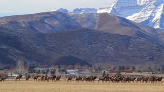 a big herd of elk in field by houses panning shot