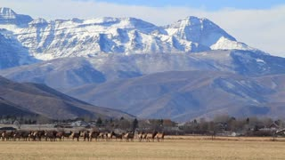 a big herd of elk in fields by houses panning shot