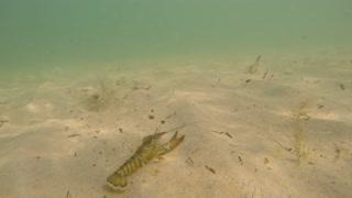 A big lobster swimming on a sandy ocean floor bottom