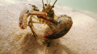 A big lobster walking on a sandy ocean floor bottom