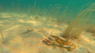 A cool large lobster moves along the ocean floor beach