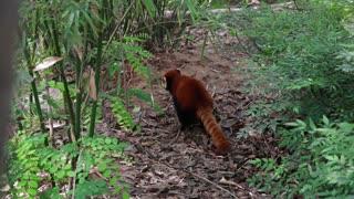 a cute red panda at giant panda breeding research center in chengdu