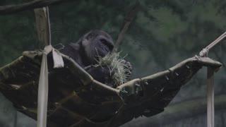 a gorilla at a zoo
